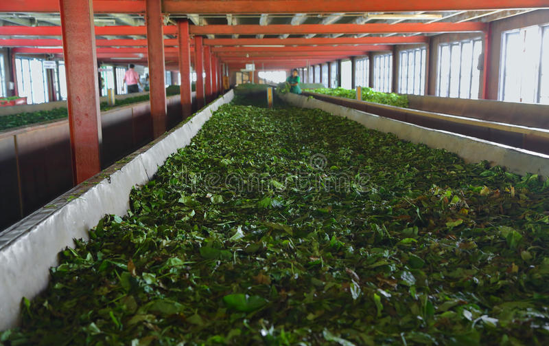 Fermentation des feuilles de thé image stock