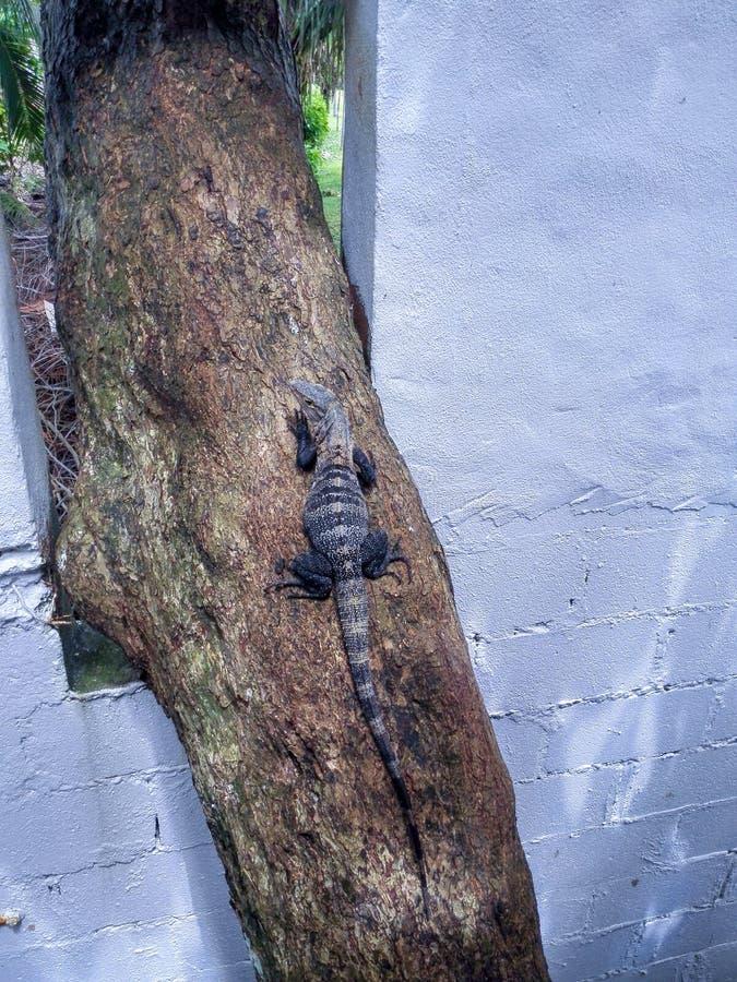 Fermer l'iguane sur le tronc d'arbre photographie stock libre de droits