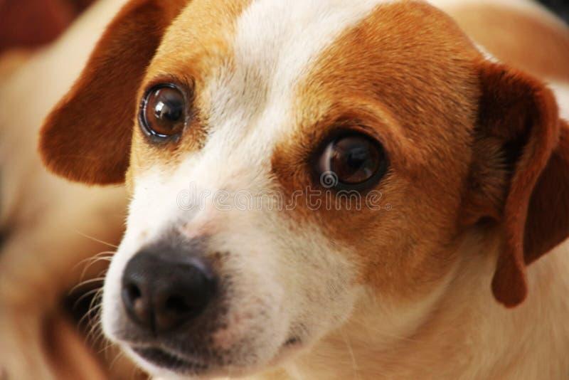 Fermer la photo de brun et de chien blanc à revêtement court image libre de droits