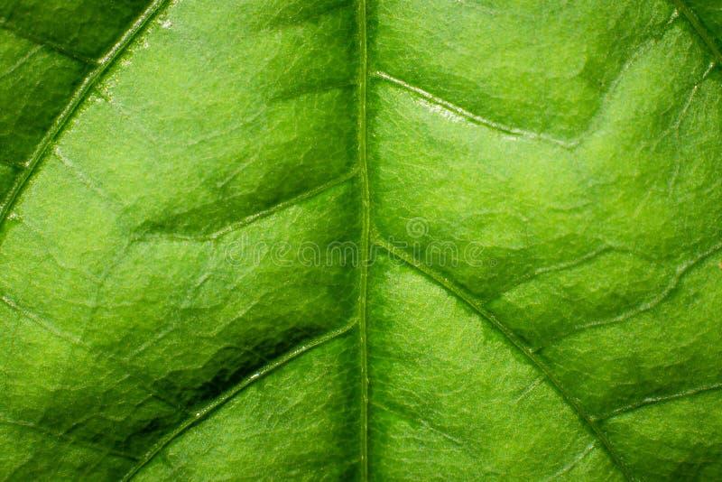 Fermer le fond de texture des feuilles vertes fraîches photographie stock