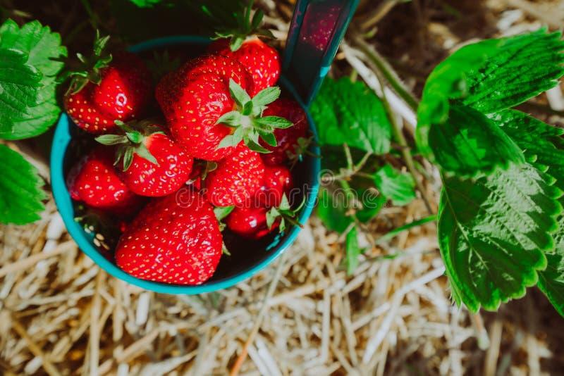 Fermer le seau bleu rempli de fraises fraîches de cueillette Le champ de fraises le jour ensoleillé photo libre de droits