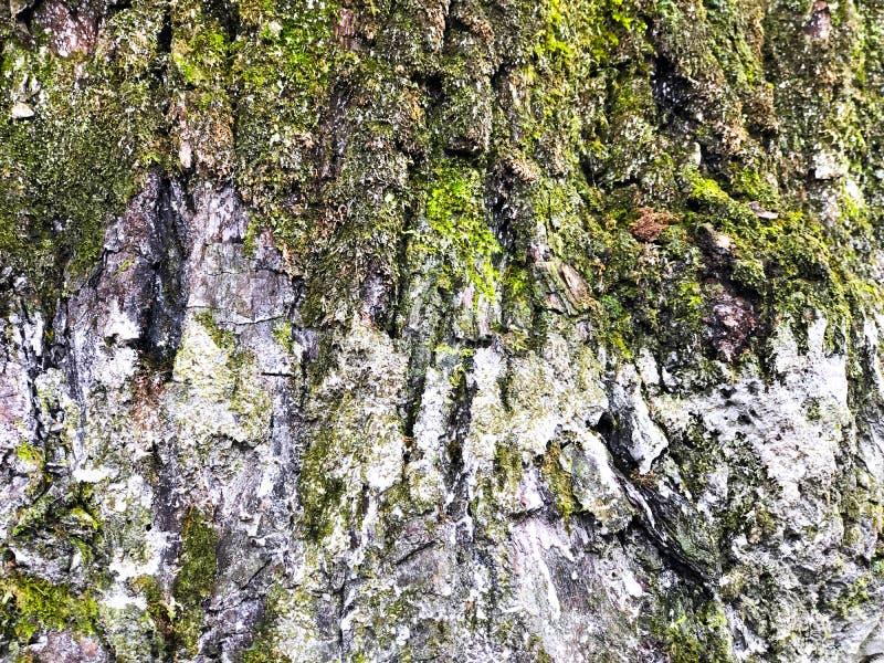Fermer le tronc d'écorce avec la mousse verte et le lichen texturé ou le motif, concept de saison hivernale image stock