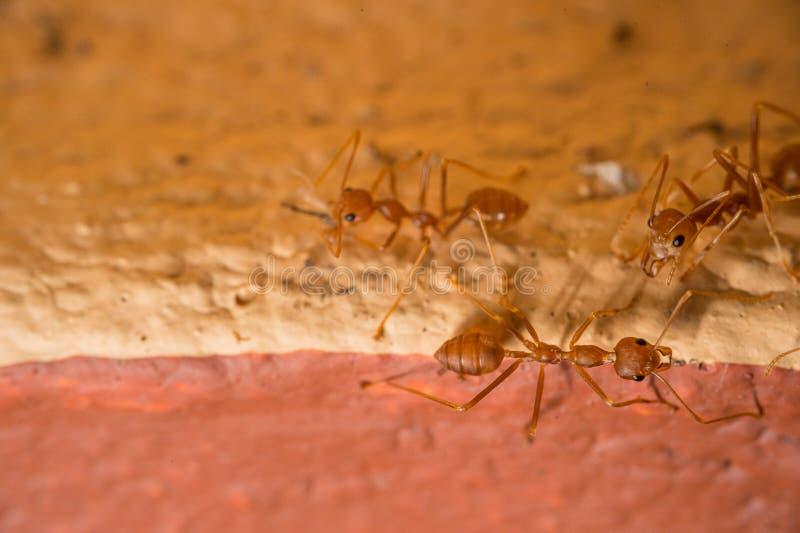 Fermer les fourmis rouges sur le sol, l'image macro et l'espace de copie image stock