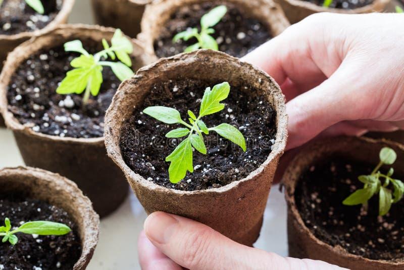 Fermer Les Mains Les Femmes Tiennent La Tomate De Semis En Pot photos libres de droits