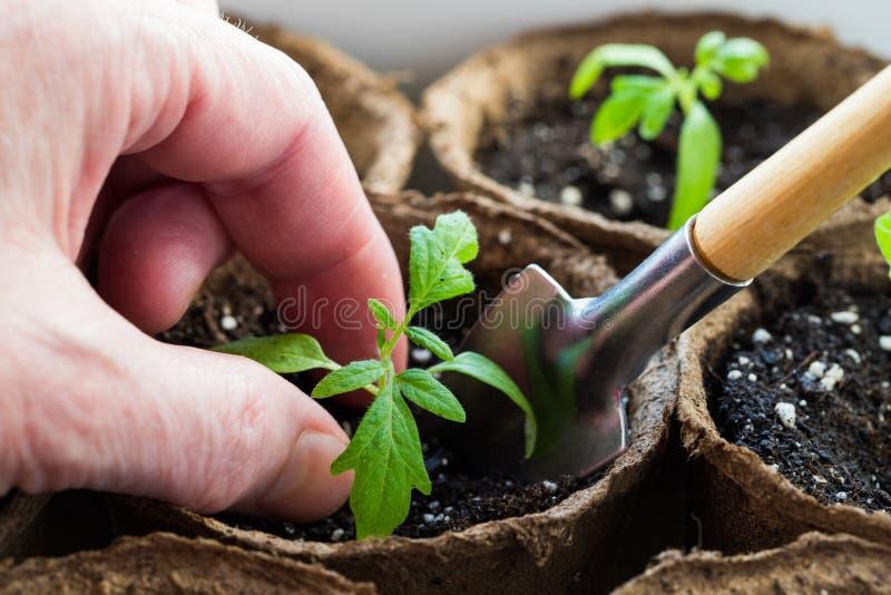 Fermer Les Mains Tomate De Plante De Semis Féminine images libres de droits