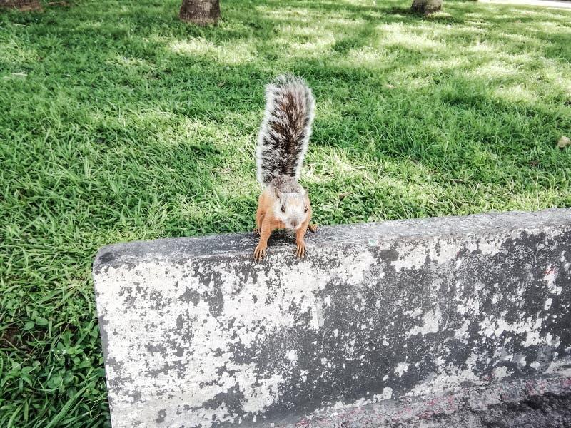 Fermeture d'un écureuil perché sur un mur dans un parc photos libres de droits