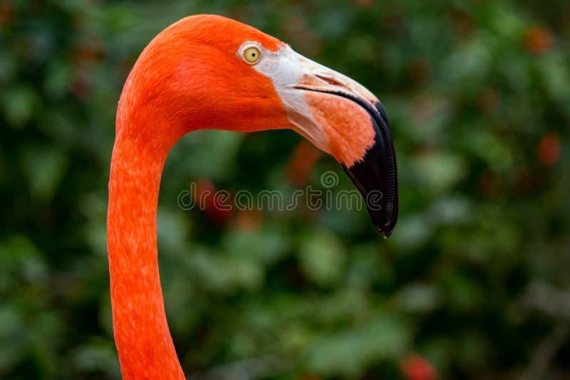 Fermeture d'un Flamingo en profil au zoo images stock