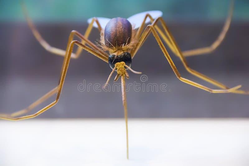 Fermeture d'un moustique piquant un bras photos libres de droits