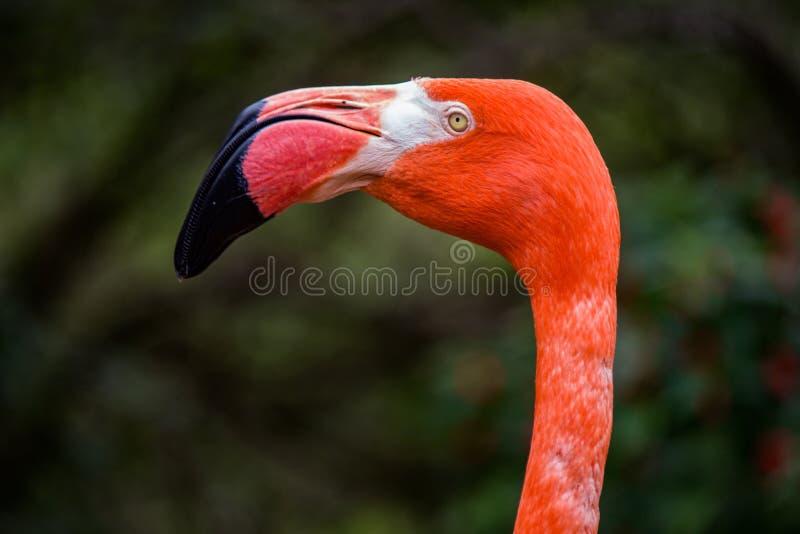 Fermeture d'un profil Flamingo au zoo photographie stock libre de droits
