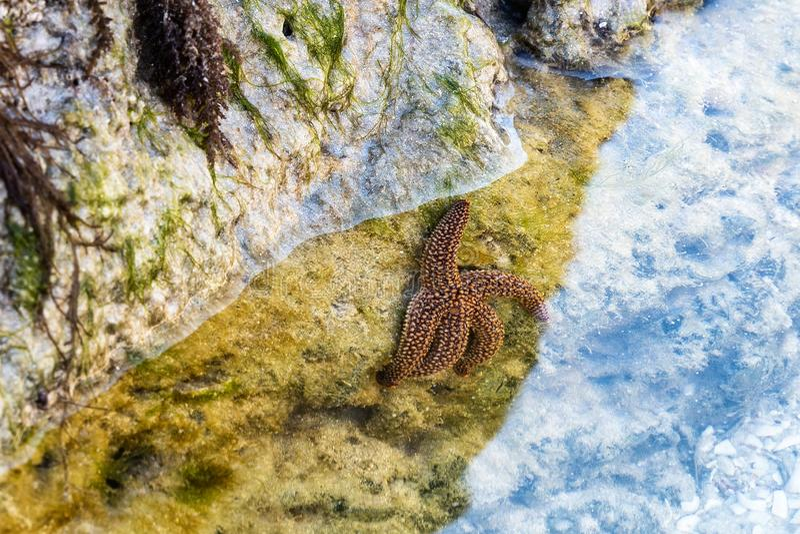 Fermeture d'un Starfish sur une plage du Golfe du Mexique photographie stock