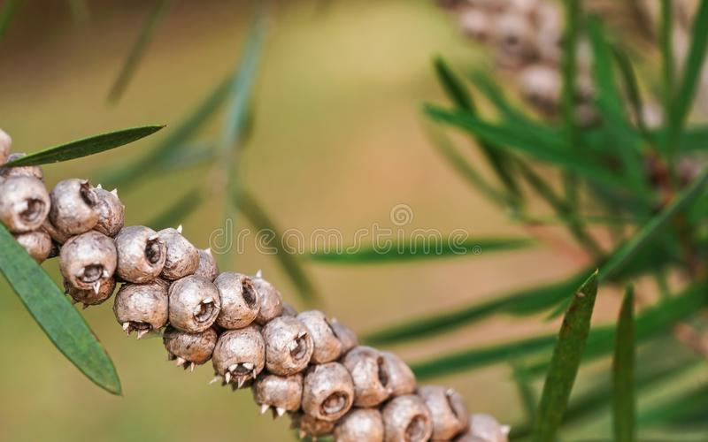 Fermeture de la branche d'arbuste avec des baies sèches photographie stock