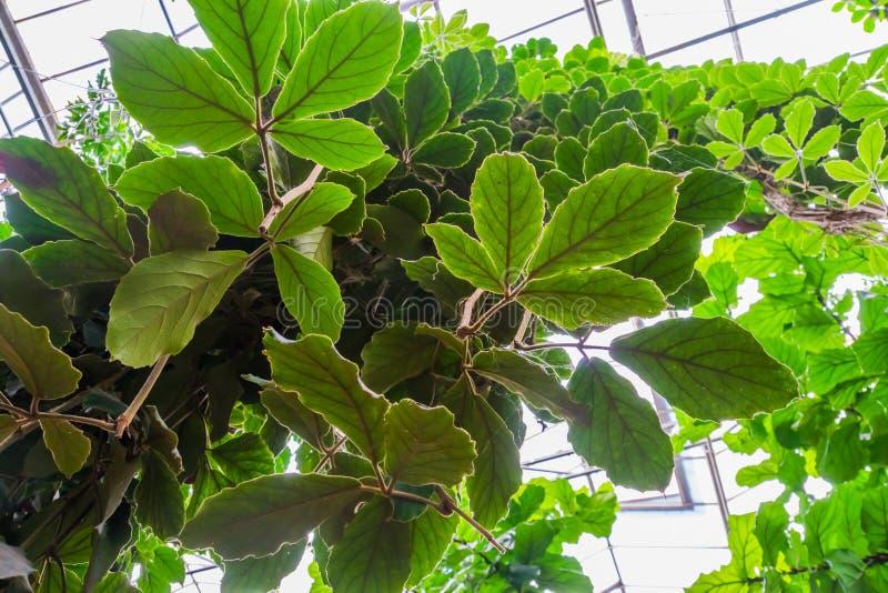 Fermeture des feuilles une gigantesque vigne, une espèce tropicale cultivée, horticulture et nature photographie stock