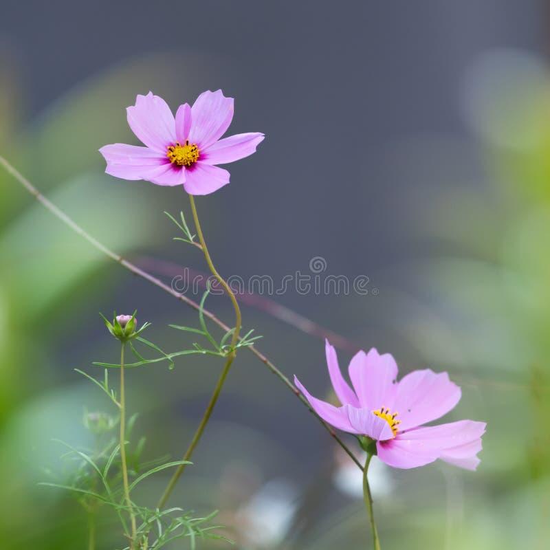 Fermeture des fleurs d'un jardin cosmos Cosmea bipinnata image libre de droits
