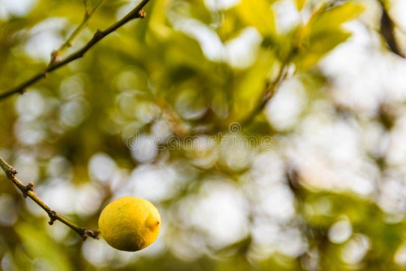 Fermeture du citronnier et du citron isolé photographie stock