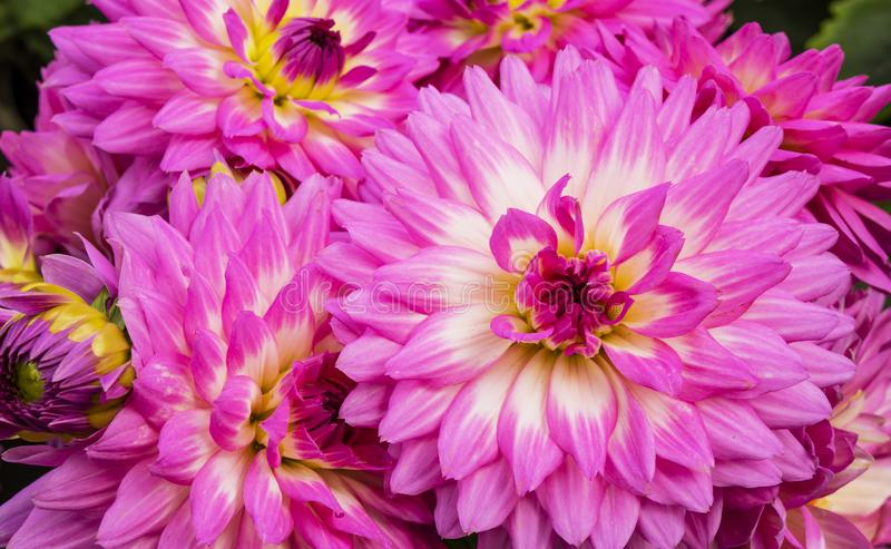 Fermeture du rose magenta avec un accent blanc dans les fleurs dahlia du centre photos libres de droits