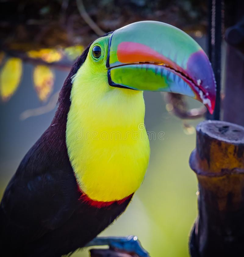 Fermeture du toucan à bec cerclé des tropiques photographie stock