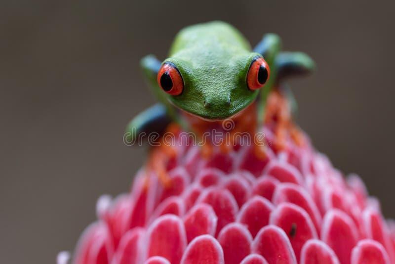 Fermeture extrême de la grenouille rouge et verte sur la fleur rose photographie stock