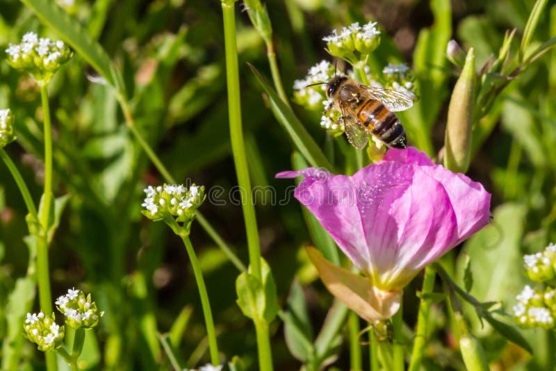 Fermez de Honey Bee Emerging From un Wildflower simple de primevère de Texas Pink Evening /Showy photographie stock libre de droits