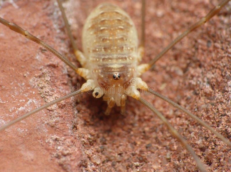 Fermez de l'les moissonneurs moissonneuse, longue araignée de jambe de papa, photo rentrée le Royaume-Uni photographie stock libre de droits