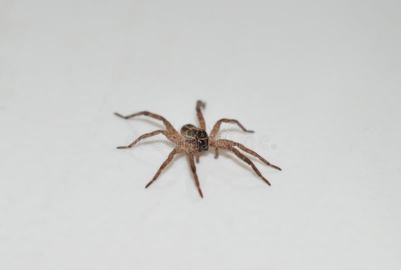 Fermez vers le haut de la photo d'une araignée de loup brune marchant à travers une partie supérieure du comptoir blanche à l'int photos libres de droits