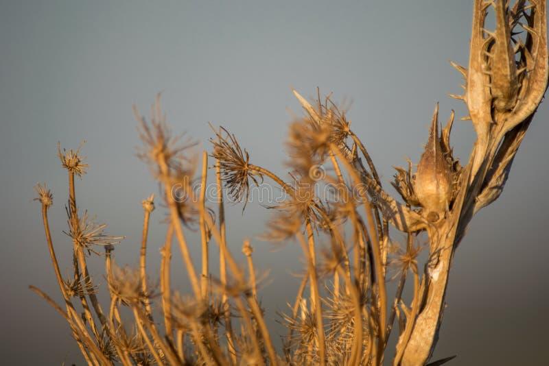 Fermez vers le haut de la vue de l'les chardons secs photographie stock libre de droits