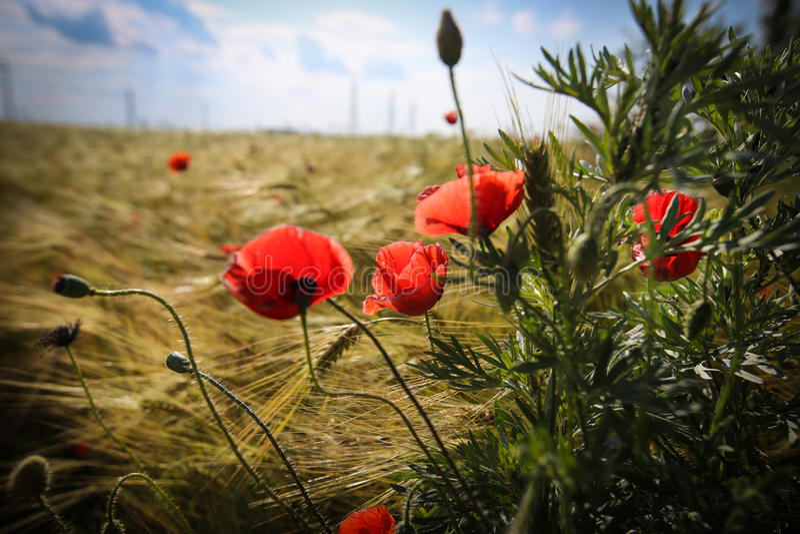 Fermez-vous avec des pavots dans le domaine de blé photos libres de droits
