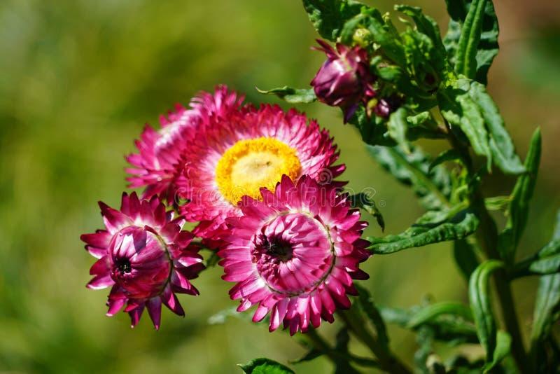 Fermez-vous avec les fleurs sp?cifiques de la Mad?re photo libre de droits
