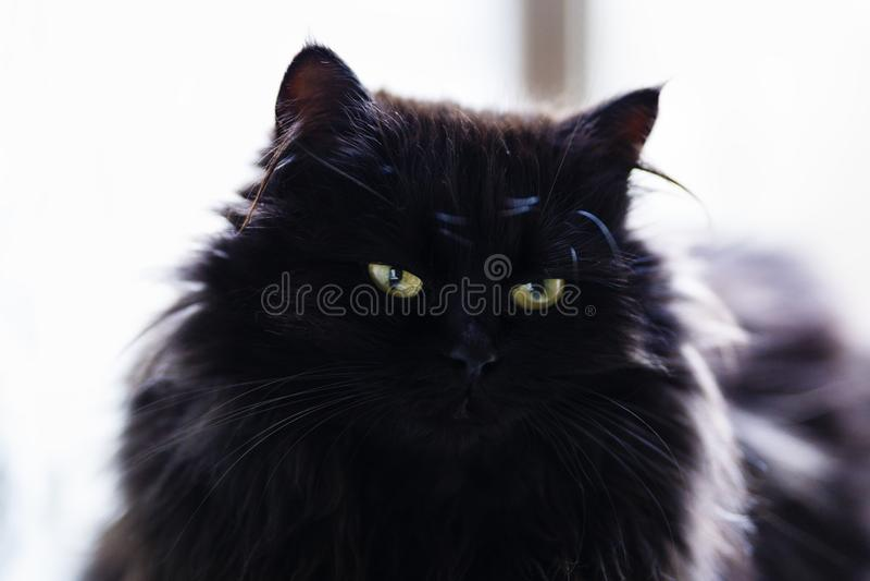 fermez-vous avec une position de chat noir photos stock