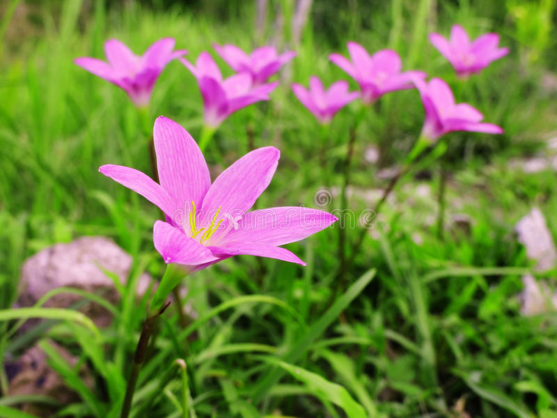 Fermez-vous, belle fleur rose de lis de pluie photographie stock