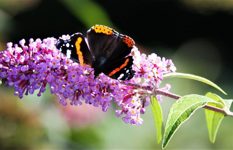 Fermez-vous d'amiral d'isolement Vanessa Atalanta de papillon sur le Syringa lilas rose de fleur vulgaris avec le fond brouillé v photos stock