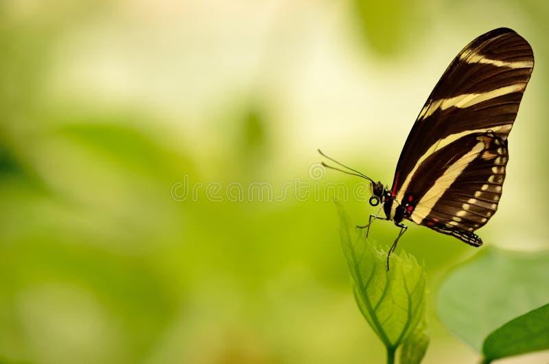 Fermez-vous d'un beau papillon rayé photographie stock
