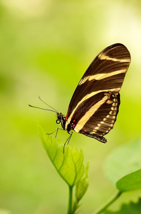 Fermez-vous d'un beau papillon rayé images libres de droits