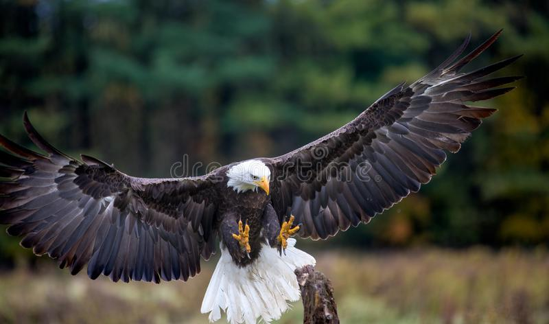 Fermez-vous d'un bel aigle chauve image stock