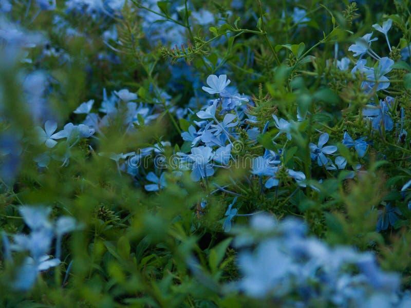 Fermez-vous d'un buisson fleurissant avec de petites fleurs de velours bleu image libre de droits