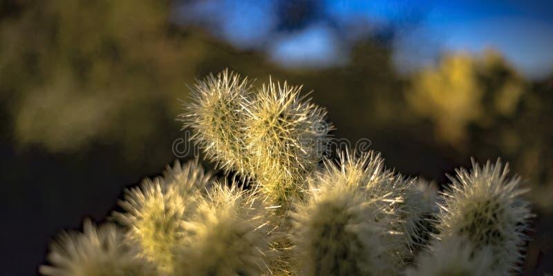 Fermez-vous d'un cactus avec les transitoires blanches minces photographie stock