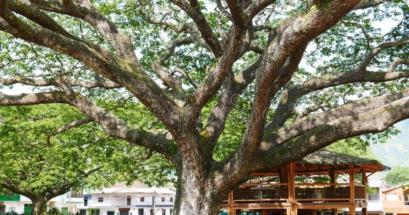 Fermez-vous d'un chêne énorme au milieu d'une plaza de ville photo libre de droits