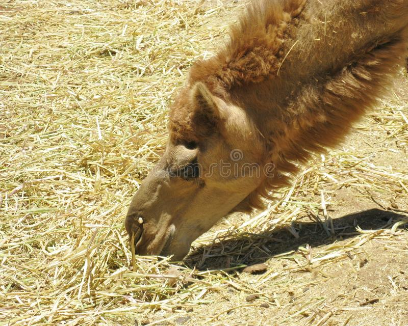 Fermez-vous d'un chameau image stock