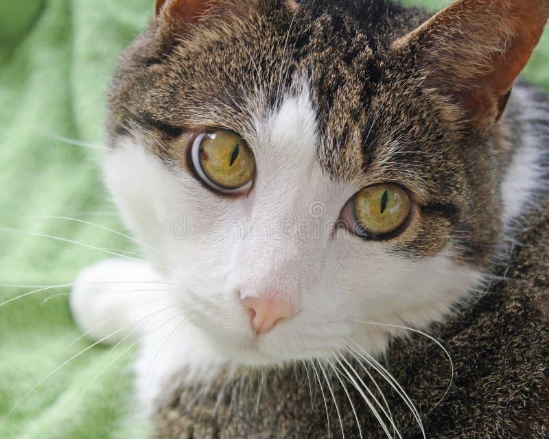 Fermez-vous d'un chat aux cheveux courts domestique La grande noisette lumineuse a coloré les yeux, le nez et le visage rose mou  images libres de droits