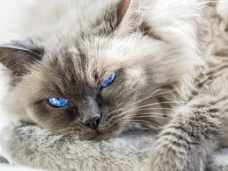 Fermez-vous d'un chat bleu de Ragdoll de colorpoint photo stock