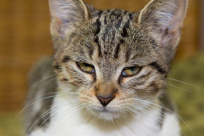Fermez-vous d'un chaton fâché ou fatigué photographie stock