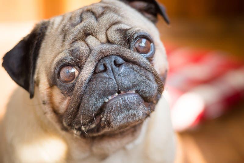 Fermez-vous d'un chien frustrant de roquet images stock