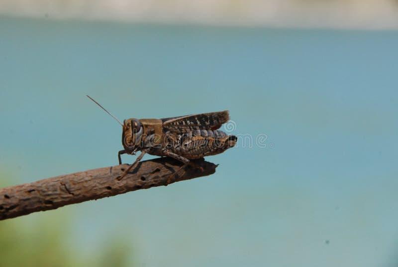 Fermez-vous d'un cricket sur un bâton photos stock