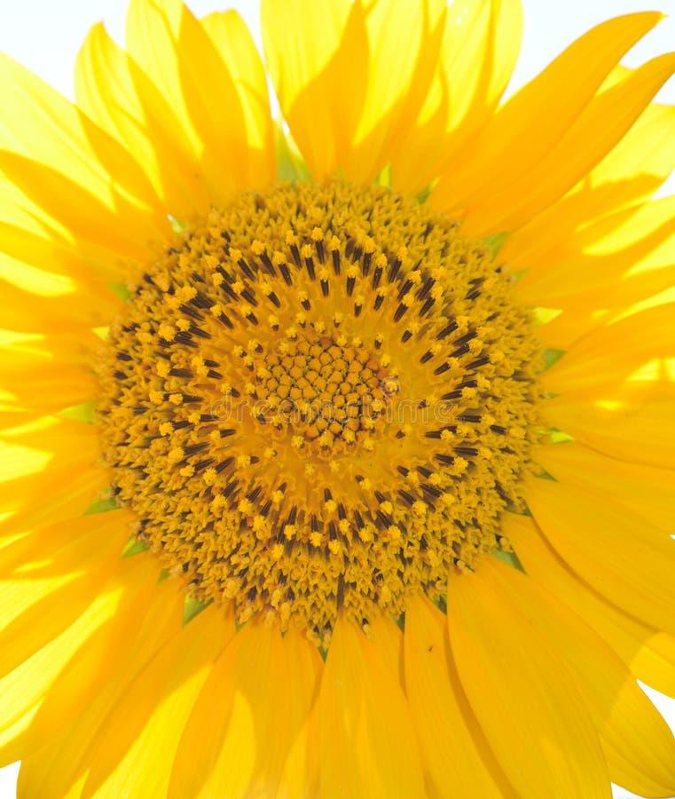 Fermez-vous d'un extérieur principal de grand tournesol jaune un jour ensoleillé images libres de droits