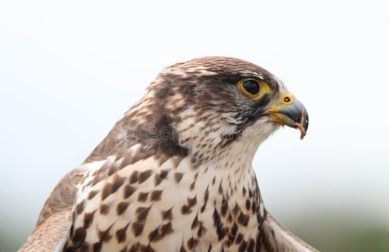 Fermez-vous d'un faucon de Saker photographie stock libre de droits