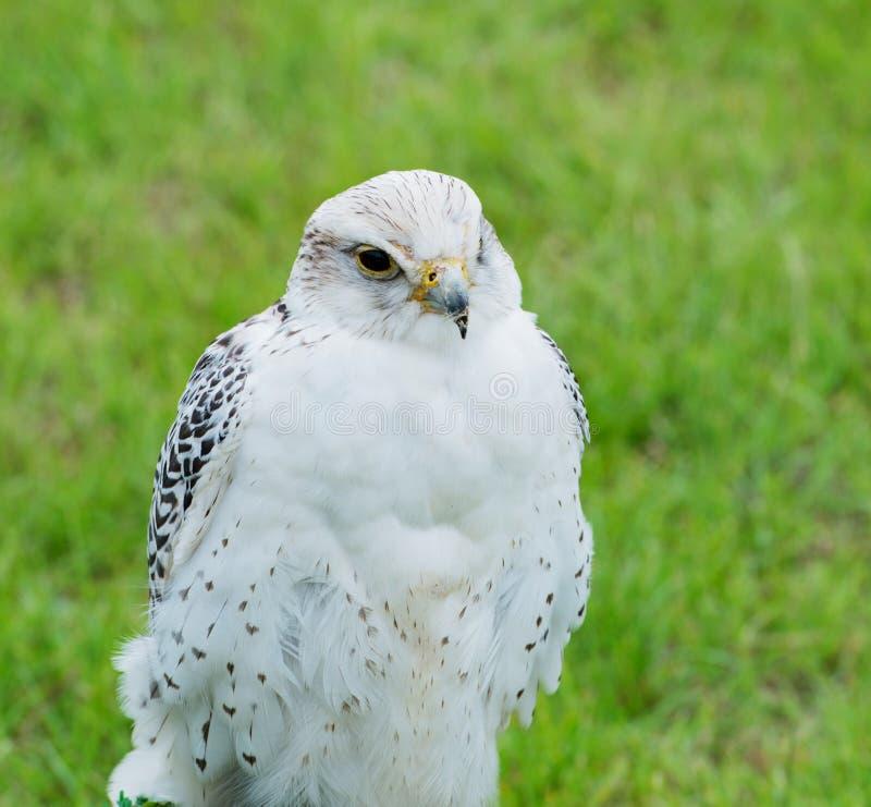 Fermez-vous d'un faucon Raptor de Saker photographie stock