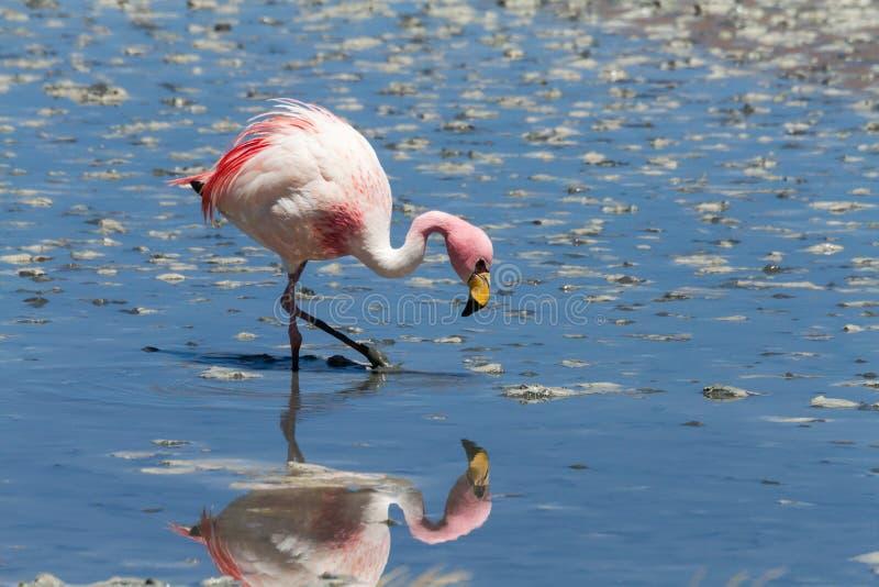 Fermez-vous d'un flamant à Laguna Hedionda photo stock