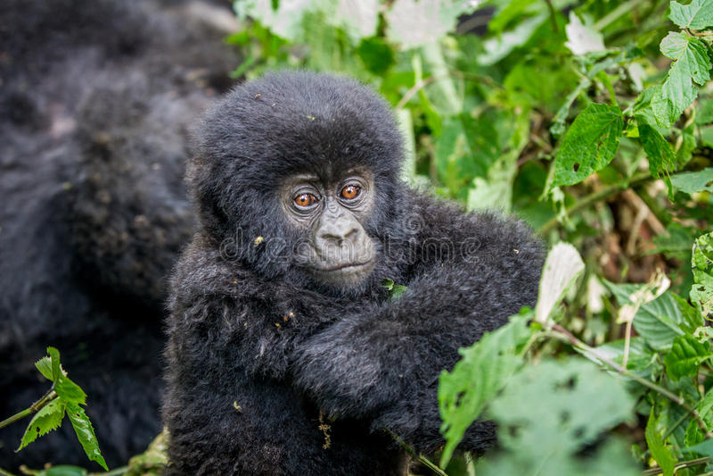 Fermez-vous d'un gorille de montagne de bébé photographie stock libre de droits