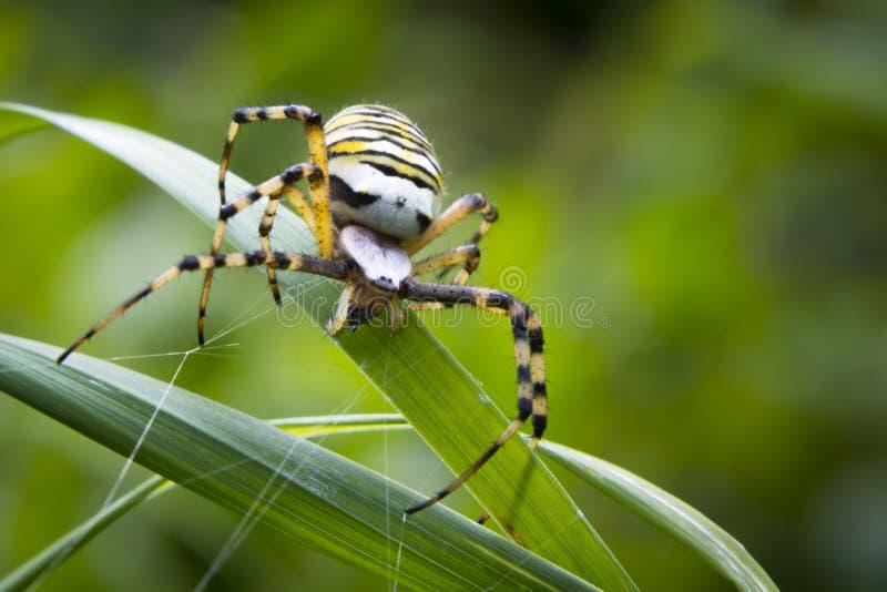 Fermez-vous d'un grand bruennichi femelle fâché d'Argiope d'araignée de guêpe image libre de droits