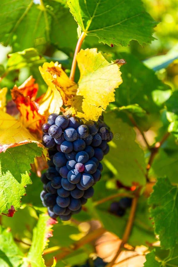 Fermez-vous d'un groupe de raisins en Bourgogne, France photographie stock libre de droits