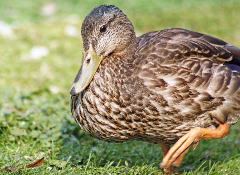 Fermez-vous d'un jeune canard de Mallard marchant sur l'herbe photographie stock